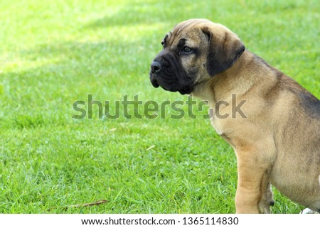 fila brasileiro doggie wallpaper #1365114830