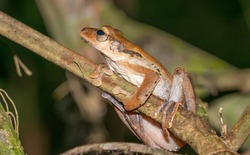 File-eared tree frog in Borneo rainforest at in Danum Valley, Sabah.