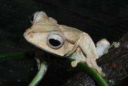 File-eared tree frog (Polypedates otilophus)