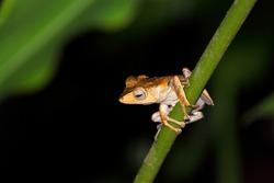 File-eared Tree Frog (Polypedates otilophus) in Borneo, Malaysia