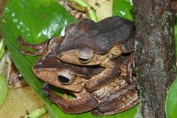 File-eared tree frog (Polypedates otilophus) in terrarium