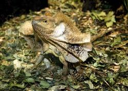 Fill necked Lizard, frills semi-open