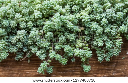 filled frame close up macro wallpaper shot of a slowly spreading blue green sedum brevifolium succulent plant (also called jelly bean) with branches, leaves and beans in a brown old ragged wooden vase