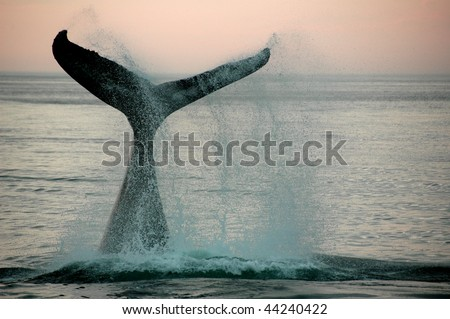 Fin of a humpback whale