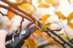 Final garden work of autumn. Farmer hand prunes and cuts branches of a tree in the garden with pruning shears or secateurs in autumn. Man pruning tree with clippers. Autumn cut tree close up.