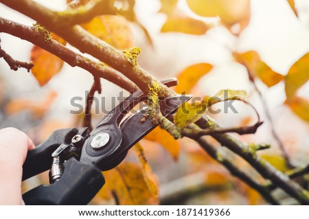 Final garden work of autumn. Farmer hand prunes and cuts branches of a tree in the garden with pruning shears or secateurs in autumn. Man pruning tree with clippers. Autumn cut tree close up. Stockfoto ©