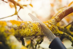 Final garden work of autumn. Farmer hand saw and cuts branches of a tree in the garden. Man sawing tree with hand saw. Autumn cut tree close up.