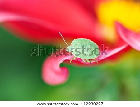 Final-stage nymph  of green shield bug (Palomena prasina) crawling along the pink petal, macro, shallow dof