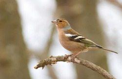Finch, chaffinch, fringilla. Bird in the forest sits on a branch