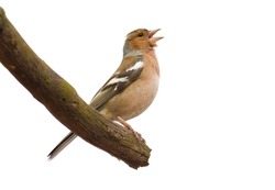 Finch, chaffinch, fringilla. Bird isolated, sings while sitting on a branch