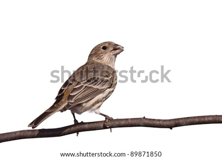 finch chews a safflower seed while perched on a branch, white background back to front view