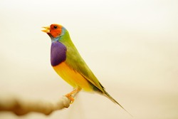 Finches 7color Gouldian Finch, Male Bird Style Face dark orange chest dark purple body dark yellow.bird in front of a white background
