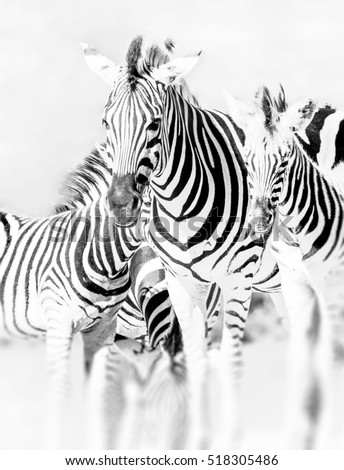 Fine art artistic bright monochrome portrait of a zebra group in a South African National Park - high key black and white animal close-up with blurred background