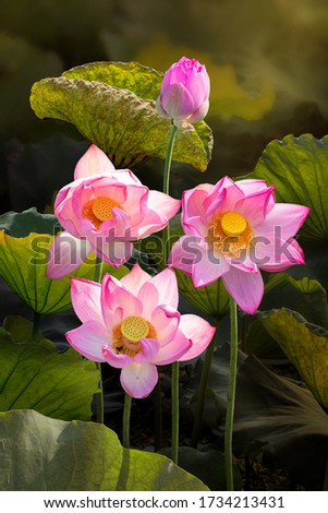 Fine art - Beautiful lotus flower and lotus flower plants, pure lotus flower, symbol of VietNam.