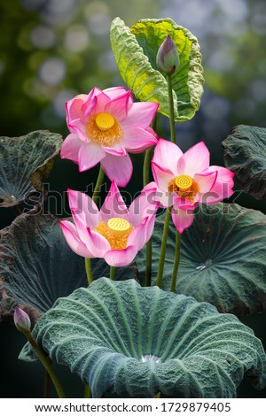 Fine art - Beautiful lotus flower and lotus flower plants, pure white lotus flower, symbol of VietNam.