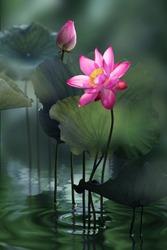 Fine art - Beautiful pink lotus flower and lotus flower plants, pure pink lotus flower, symbol of VietNam.