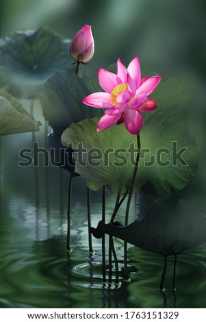 Fine art - Beautiful pink lotus flower and lotus flower plants, pure pink lotus flower, symbol of VietNam.