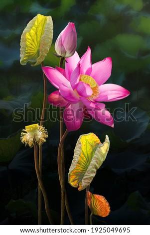 Fine art beautiful pink lotus flower in lake Zdjęcia stock ©