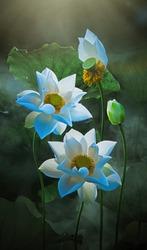 Fine art - Beautiful white lotus flower and lotus flower plants, pure white lotus flower, symbol of VietNam.