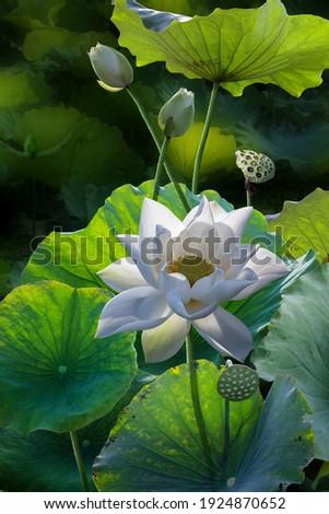 Fine art beautiful white lotus flower in lake Zdjęcia stock ©