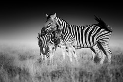 Fine art, black and white photo of two Burchell's zebra, Equus quagga burchellii, mother and foal, african animals in savanna against dark background. Etosha, Namibia safari.