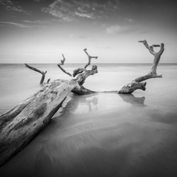 Fine art black & white image of falling tree at the beach in Mukah, Sarawak, Malaysia. Soft focus due to long exposure.