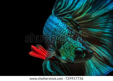 "Fine art concept close up beautiful movement of ""Half moon"" Betta fish, fighting fish isolated #729957736"