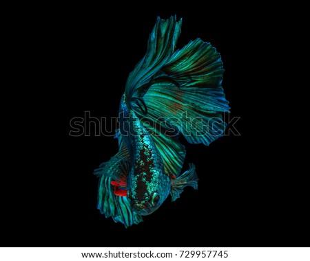"Fine art concept close up beautiful movement of ""Half moon"" Betta fish, fighting fish isolated #729957745"