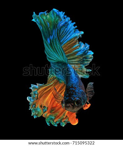 "Fine art concept close up beautiful movement of ""Half moon"" Betta fish isolated #715095322"