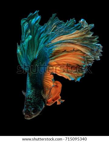 "Fine art concept close up beautiful movement of ""Half moon"" Betta fish isolated #715095340"