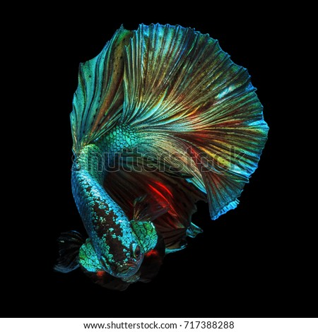 "Fine art concept close up beautiful movement of ""Half moon"" Betta fish isolated #717388288"