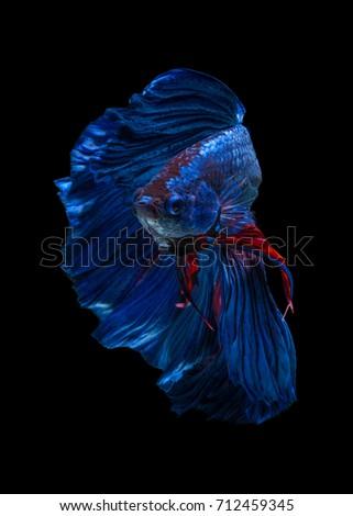 "Fine art concept close up beautiful movement of ""Half moon"" Betta fish isolated on black background. macro photo #712459345"