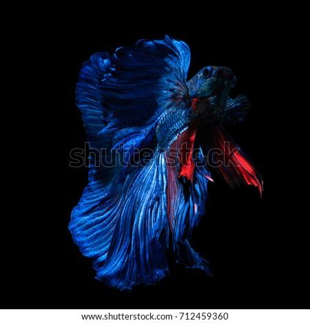 "Fine art concept close up beautiful movement of ""Half moon"" Betta fish isolated on black background. macro photo #712459360"
