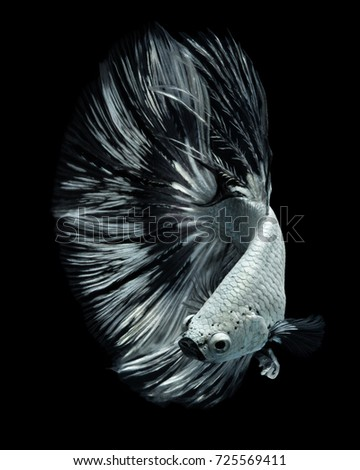 "Fine art concept close up beautiful movement of ""White Half moon feather bird tail"" Betta fish #725569411"