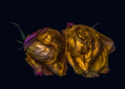 Fine art floral fantasy macro of an isolated old fading golden yellow pink rose blossom pair on dark blue background with metallic texture