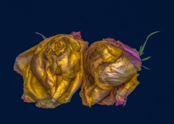 Fine art floral fantasy macro of an isolated old fading golden yellow pink rose blossom pair on blue background with detailed texture