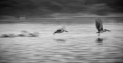 Fine Art Photography Wildlife - Captured Motion Blur Low Shutter Speed Pelican Flying . Group of pelican flying on lake surface captured on low shutter speed.