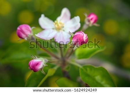fine art portrait of a flower from an apple tree
