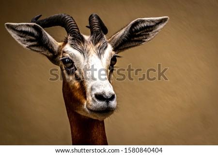 Fine art portrait of a Gazelle