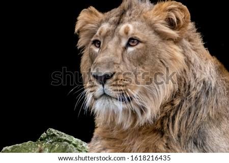 fine art portrait of a young male lion
