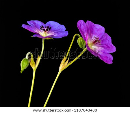 Fine art still life color floral image of a pair of bright pink violet blue isolated wide open blooming male and female geranium/cranesbill flowers,stem, bud,black background,vintage painting