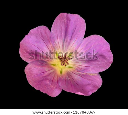 Fine art still life color floral portrait image of a single isolated wide open pink blooming female geranium / cranesbill flower on black background in vintage painting style