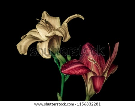 Fine art still life color macro portrait  of a pair of isolated wide open purple and beige daylily blossoms,black background,detailed texture, vintage painting ,symbolic pair couple joint together