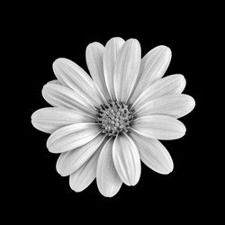 Fine art still life flower monochrome macro portrait of a wide open blooming african cape daisy / marguerite blossom on black background