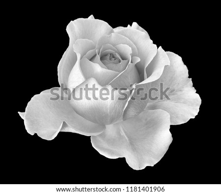 Fine art still life monochrome black and white flower macro portrait photo of a wide open blooming rose blossom with detailed texture on black background