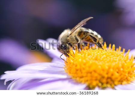 Fine blue flower macro with bee harvesting honey