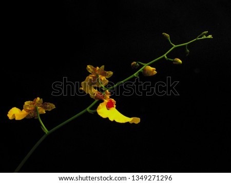 fine bouquet of orquidea, with buds and yellow flowers, highlighted from black background by illumination, sao paulo, brazil #1349271296
