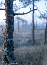fine cobwebs between tree branches, misty bog landscape with swamp pines and traditional bog vegetation, blurred background, fog in bog, twilight twilight, Dikli, Madiesenu bog, Latvia
