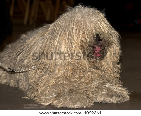 Fine Example Of A Hungarian Puli Dog, Rare Breed Stock