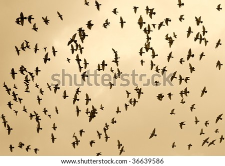 fine image of lots of birds fly in the sky at sunset